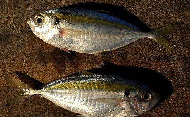 Cá chỉ vàng – những điều bạn chưa biết về cá chỉ vàng